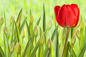 Flower bed with tulips — Stock Photo