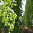 Hop cones - raw material for beer production - Stock Photo