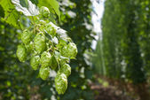 Hop cones - raw material for beer production — Stock Photo