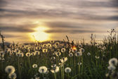 Dandelions in meadow at sunset — Stock Photo