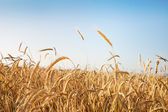 Field of ripe cereal plant — Stock Photo