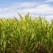 Sugar cane plantation closeup used in biofuel ethanol — Stock Photo #10975798