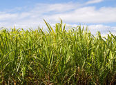Sugar cane plantation closeup used in biofuel ethanol — Stock Photo