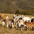 Australian beef cattle Brahman heifers - Stock Photo