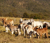 Australian beef cattle Brahman heifers — Stock Photo