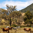 Stock Photo: Rural Scene Beef Cattle
