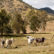 Australian rural scene beef cattle - Stock Photo