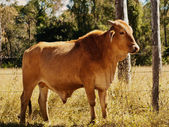 Australian beef cattle young bull — Stock Photo