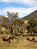 Rural Scene Beef Cattle — Stock Photo