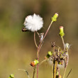 Sowthistle Sonchus oleraceus flower and seed head — Stock Photo