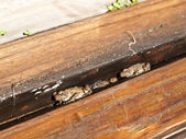 Warty Ugly Cane Toads sleeping — Stock Photo