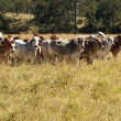 Royalty-Free Stock Photo: Australian Primary Industry Agriculture Beef Cattle