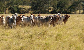 Australian Primary Industry Agriculture Beef Cattle — Stock Photo