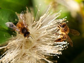 Spring bee Worker Bees Collect Nectar — Stock Photo
