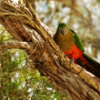 Spring Young Immature Australian King Parrot — Stock Photo
