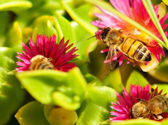 Springtime Bees on Pink Spring Flowers — Stock Photo