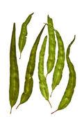 Australian Gum Leaves Eucalyptus citriodora — Stock Photo