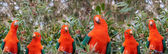 Red headed Australian male king parrots — Stock Photo