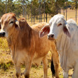 Australian Beef Cattle Industry Red and Grey Brahman Cows - Stock Photo