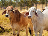Australian Beef Cattle Industry Red and Grey Brahman Cows — Stock Photo