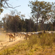 Brahman cows crossing dusty rural Queensland gravel road - Stock Photo
