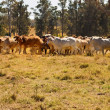 Herd of Brahman beef cattle moving across paddock - Stock Photo