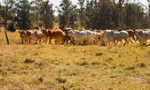 Herd of Brahman beef cattle moving across paddock — Stock Photo