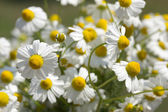 Pharmacy daisies — Stock Photo