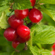 Stock Photo: Felt cherries