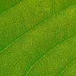 Cherry leaf — Stockfoto