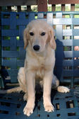 Young Golden Sitting On Chair Outdoors — Stock Photo