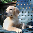 Relaxing Golden Puppy — Stock Photo