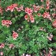 Geranium - Stock Photo
