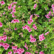Geranium — Stock Photo #10754666