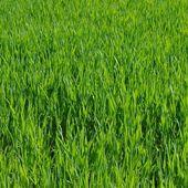 Meadow grass — 图库照片
