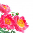 Peony Flowers Bouquet over white background — Stock Photo #11538477