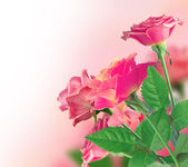 Beautiful Pink Rose Border — Stock Photo