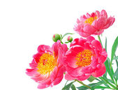 Peony Flowers Bouquet over white background — Stock Photo