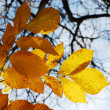 Autumn leaves against bare branches — Stock Photo