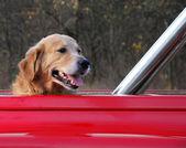 Perro viajando en el coche rojo — Foto de Stock