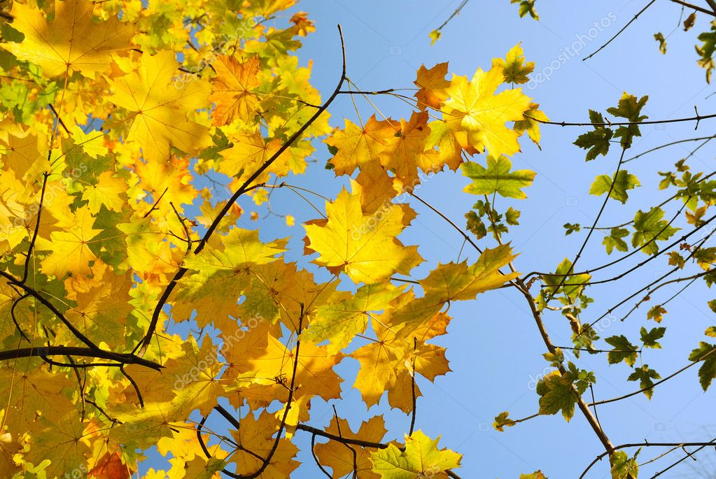 Yellow maple leaves are flooded with sunlight in the foreground. There are distant brown branches with scanty green leaves against the clear blue sky. — Stock Photo #10786026