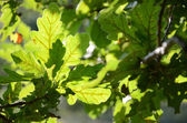 Close-up of sunlit oak leaves — 图库照片