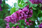 Lilac flowering — Stock Photo