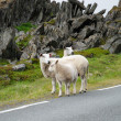 Stock Photo: Few sheep on road against jagged rocks.