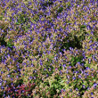 Blooming dense flower bed of blue flowers from above — Stock Photo