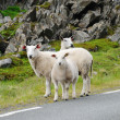 Several sheep in the Norwegian road - Stock Photo