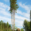 Three intact pines in cutover patch — Stock Photo #11119489