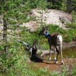 Stock Photo: Young reindeer near summer forest lake