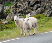 Several sheep in the Norwegian road — Stock Photo