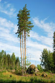 Three intact pines in cutover patch — Stock Photo